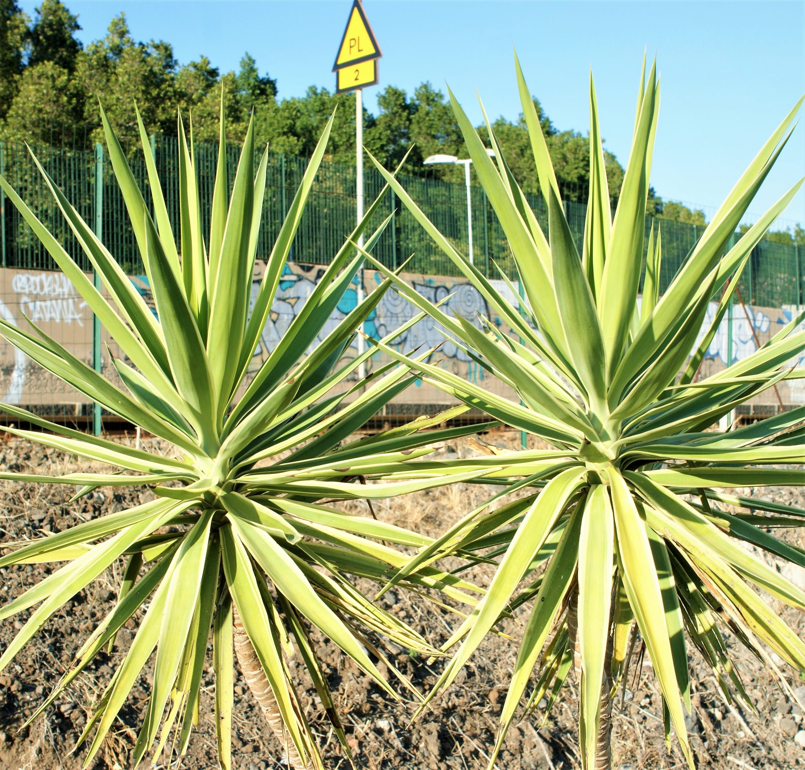 Il Bosco delle Yucche